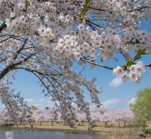 越路河川公園 池と桜
