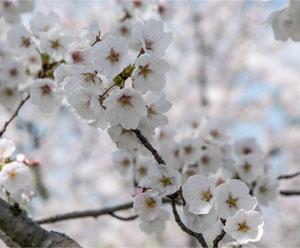 越路河川公園 桜ズーム