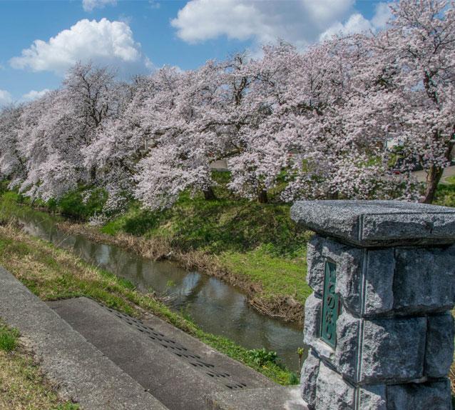 岩野の桜「岩野橋」