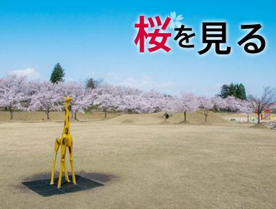 越路の桜を見る