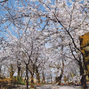 鈴木久美子「桜の頃」