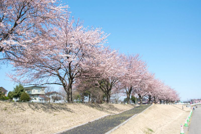 越路河川公園と桜