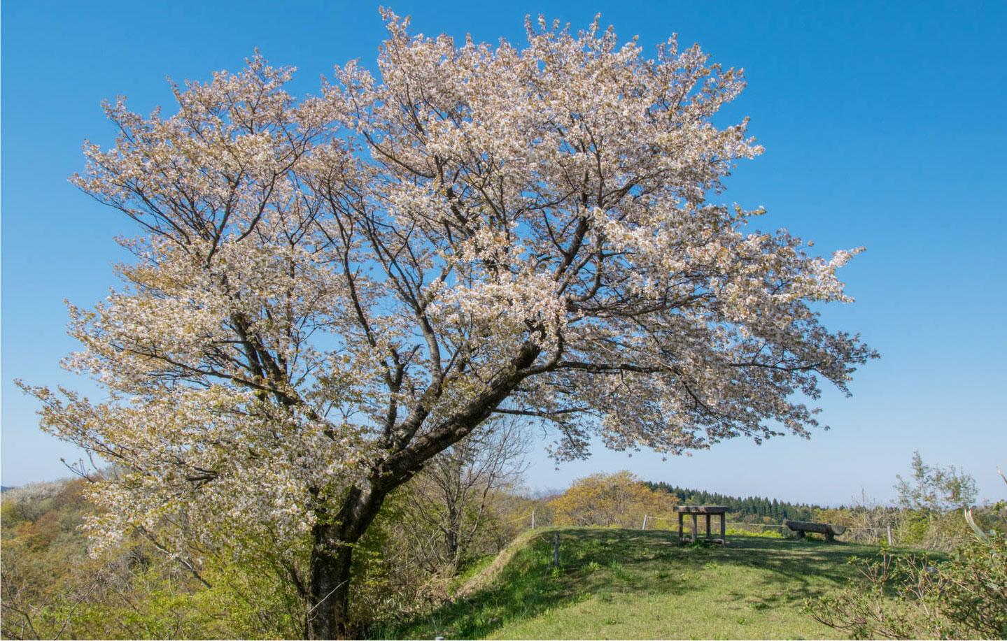 枡形山の桜