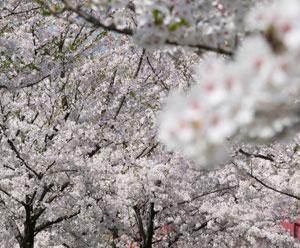 越路河川公園 桜満開