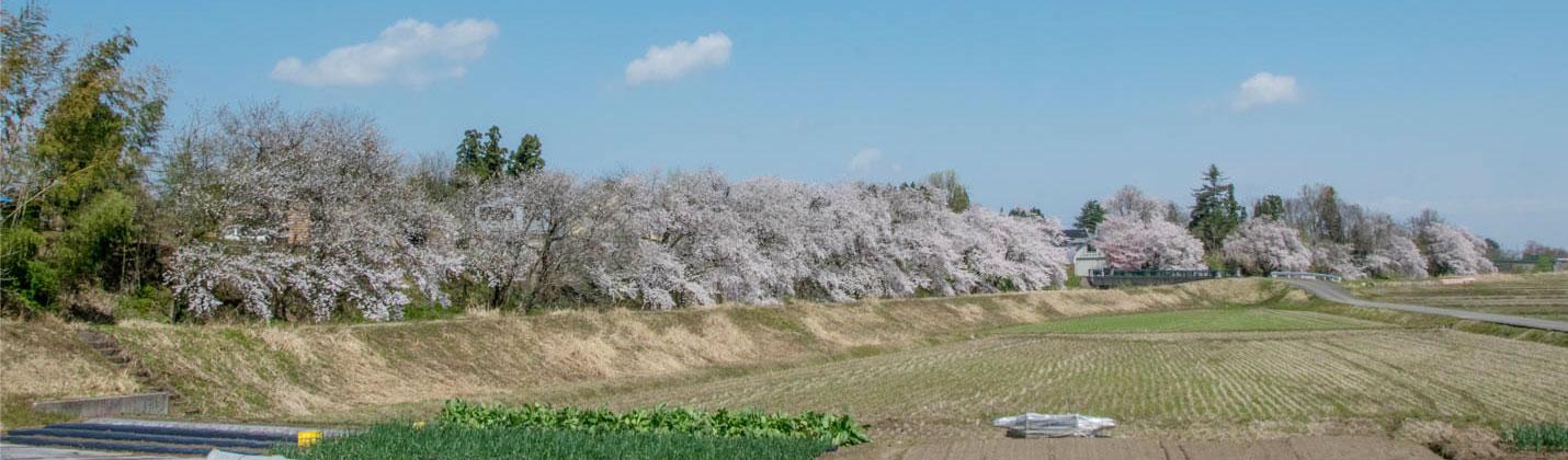 岩野の桜 田畑と桜