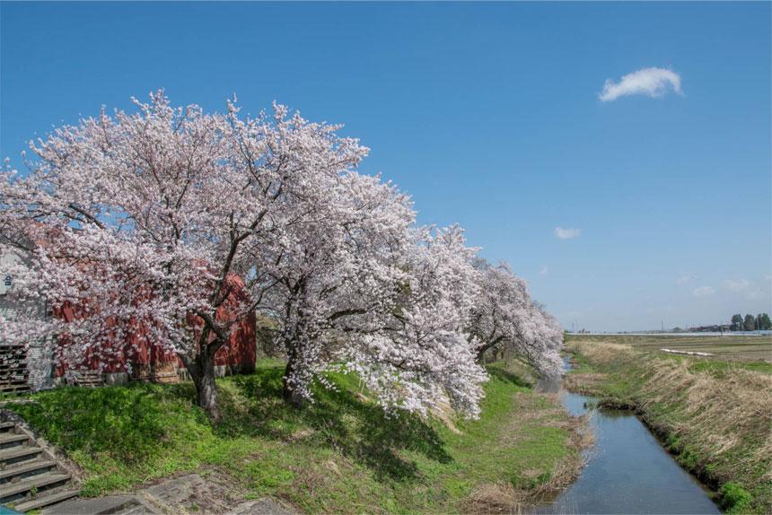 岩野の桜 川と大きい桜の木