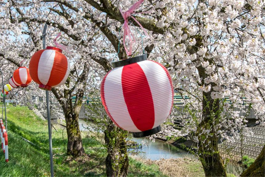 岩野の桜 提灯