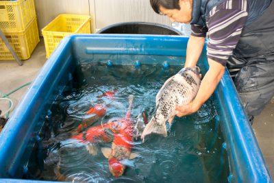 錦鯉を水槽へ入れる