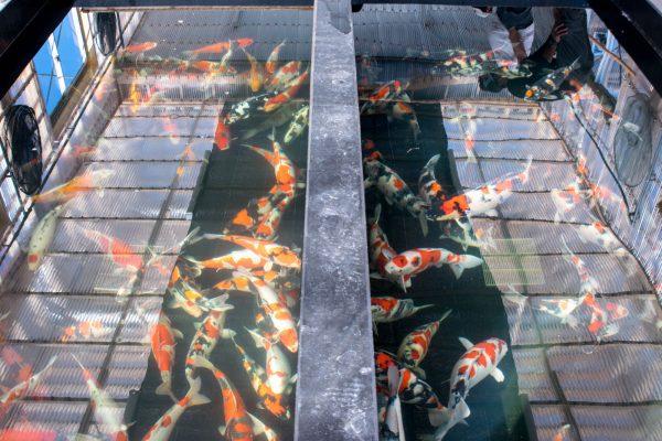 錦鯉の水槽